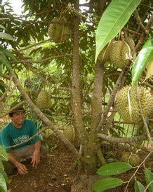 durian bawor bibit durian bawor