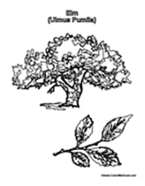 elm leaf coloring page tree coloring pages