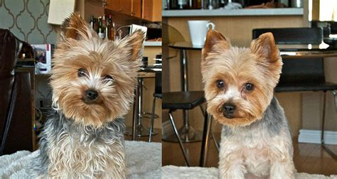 yorkie haircuts pictures only picture of adult yorkie haircut