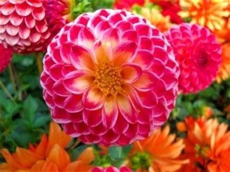 dalia fiore significato fiori dalia fiori di piante