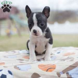 boston terrier puppies maryland boston terrier mix puppies for sale in pa