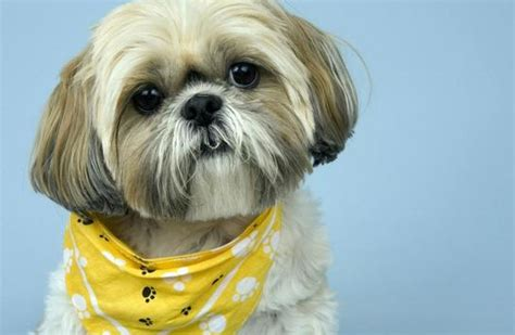 best haircut for male shitzuh 7 unique pictures of shih tzu hair styles