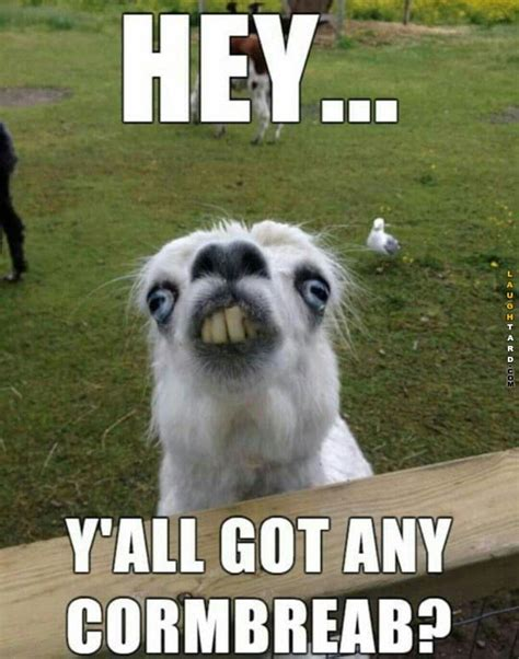 Funny Llama Memes - llama wants some cormbreab funny pictures pinterest