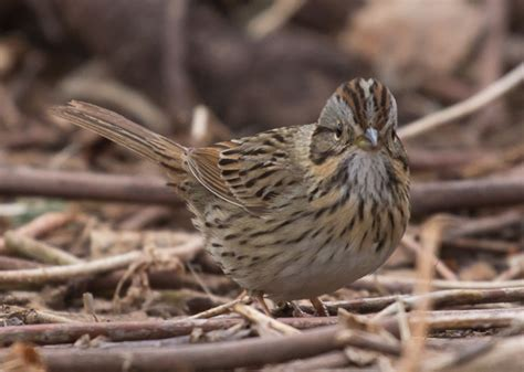 attract ground feeding sparrows without subsidizing house