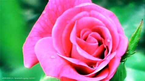 Mawar Maxy bunga mawar merah roses