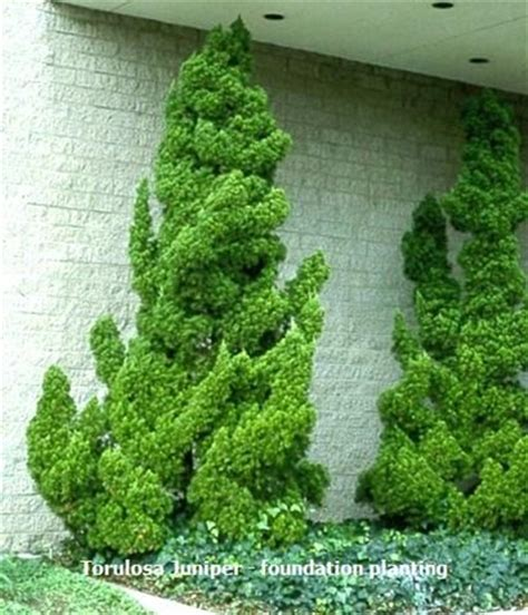 torulosa juniper
