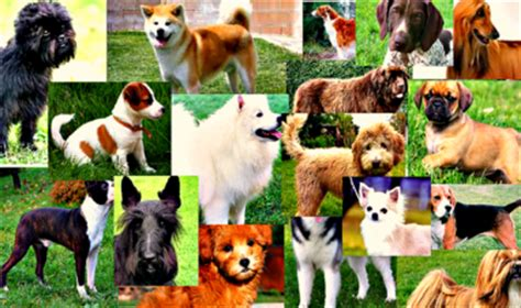 how many dogs are in the world how many breeds this slideshow displays all 198 breeds in the world