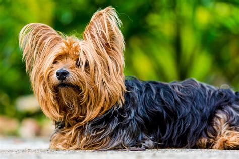 silky yorkie terrier breeds free images fur vertebrate breed small terrier australian