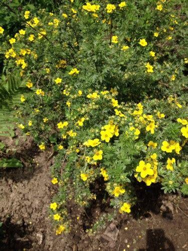 shrub with yellow flowers yellow flower