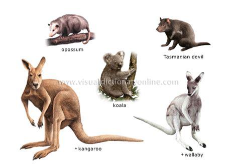 animal kingdom marsupial mammals exles of