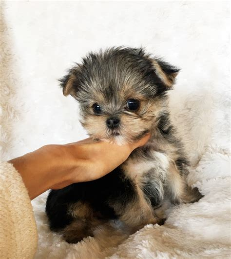 teacup puppies for sale in california teacup morkie puppy for sale california iheartteacups