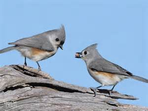 Porch Or Patio Difference Tufted Titmouse Wild Delightwild Delight