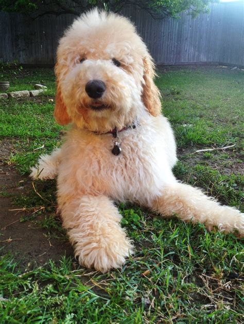goldendoodle puppy facts duke the goldendoodle goldendoodles labradoodles