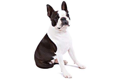 top pet gifts boston terrier gifts accessories up to 50 top