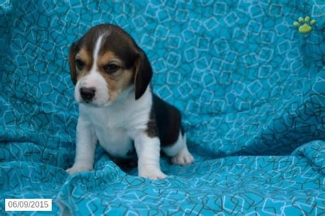 beagle puppies for sale in ohio 17 best images about beagle on beagle puppies for sale and ohio