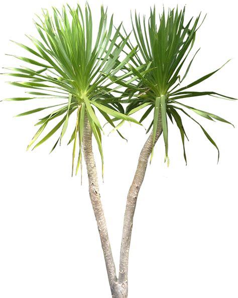 Tropical Yucca Plant by Tropical Plant Pictures Dracaena Arborea