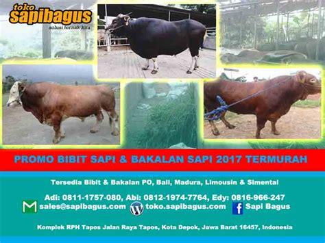 Bibit Sapi Po promo harga jual bibit dan bakalan sapi 2017 sapibagus