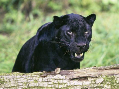 imágenes jaguar negro banco de im 225 genes para ver disfrutar y compartir