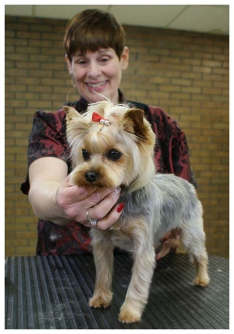 grooming a yorkie with clippers terrier with an asian butterfly style part 1 of 2 part series clipper