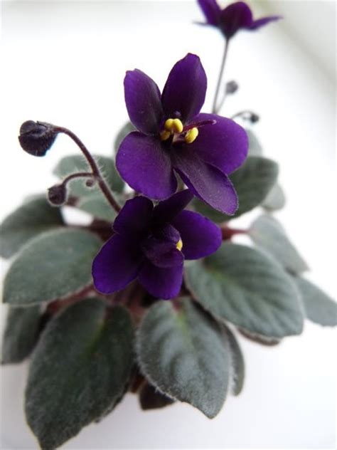 diet cola g boone semi miniature semidouble purple green plain violet
