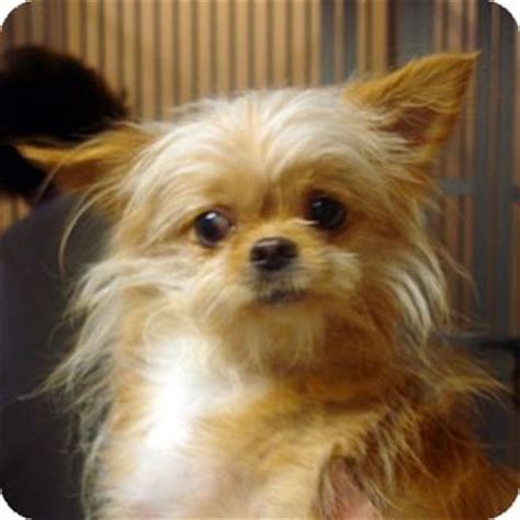 pomeranian maryland sally adopted hagerstown md maltese pomeranian mix