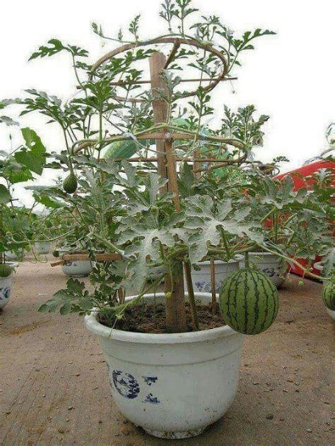 grow watermelon in a container easy grow - Container Gardening Watermelon