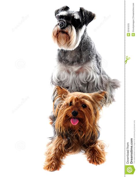schnauzer and yorkie schnauzer and terrier pets stock photo image 25161970