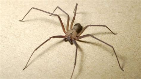 brown recluse image brown recluse spider
