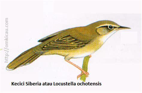 Pita Garis Salurgrossgrain 6mm Kuning Terang ciblek gunung burung terfavorit di antara suku pengicau page 3 of 4 klub burung