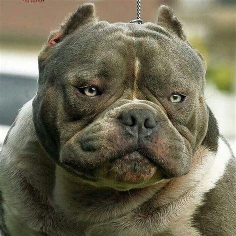 big pitbull 24 best images about badass pitbulls on puppys pit bull and bullies