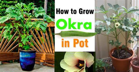 growing okra  pots   grow okra  containers