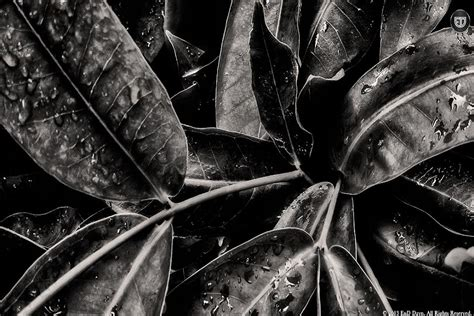 wallpaper black leaf black and white leaf background pictures to pin on