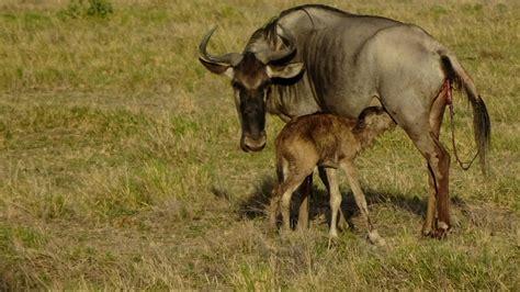 baby wildebeest adorable this minutes newborn baby wildebeest finds
