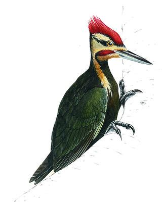 how does a woodpecker find its food