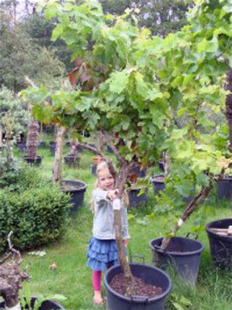 oude druif verplaatsen wijnrank kopen potplanten buiten schaduw