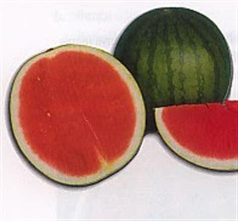 Benih Buah Semangka Manis Tanpa Biji Eceran Mudah Tumbuh Dan Cocok Di bumi pertiwi extrem budidaya semangka tanpa biji