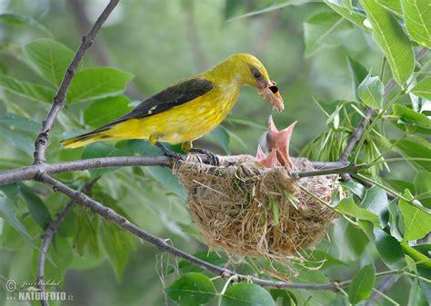 Golden Bird golden oriole pictures golden oriole images naturephoto