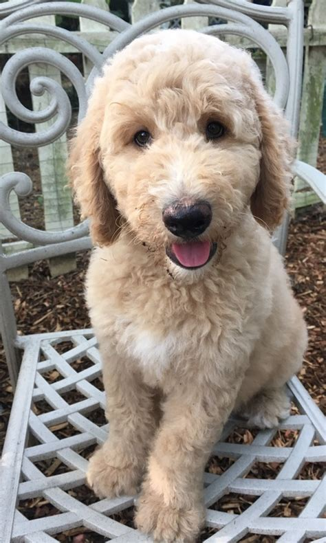 goldendoodle puppies jackson ms home dixiemagnolialabradoodles