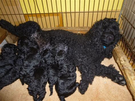 black poodle puppies black miniature poodle puppies ashford kent pets4homes