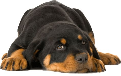 southern states rescued rottweilers contact us