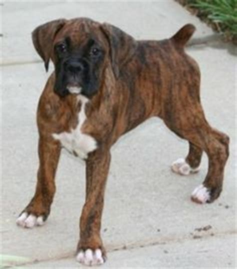 brindle boxer puppies for sale 1000 images about i want a brindle boxer on brindle boxer brindle