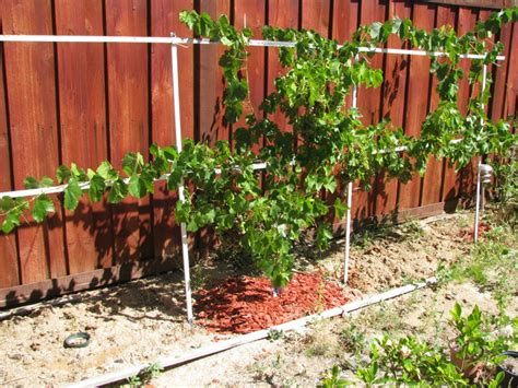 how to plant grapes in your backyard 28 images no fuss