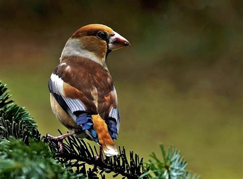 Vogelarten Im Garten by Die 25 Besten Ideen Zu Heimische Singv 246 Gel Auf Heimische Vogelarten V 246 Gel Und