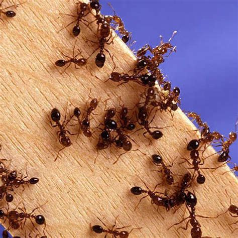 15 home remedies for killing ants