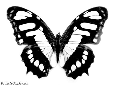 real butterfly coloring pages real butterfly pictures to print