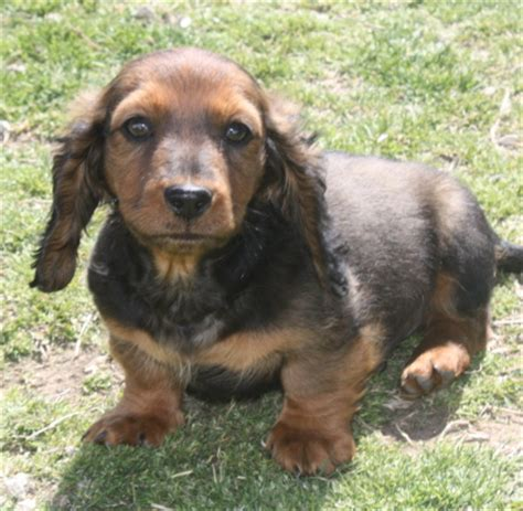 miniature dachshund puppies for sale in oklahoma akc dachshund oklahoma breeds picture