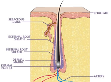 hair diagram hair root diagram www pixshark images galleries
