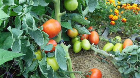 Vertical Gardening Tomatoes What Is A High Performance Garden The Living Farm