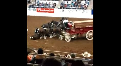 tales of horsemanship an inside look at the secrets of successful revealed through stories books clydesdale horses take a tumble during the show but what