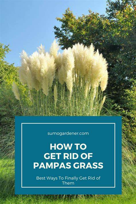 how to get rid of grass in flower beds how to get rid of pas grass 2 ways to kill it